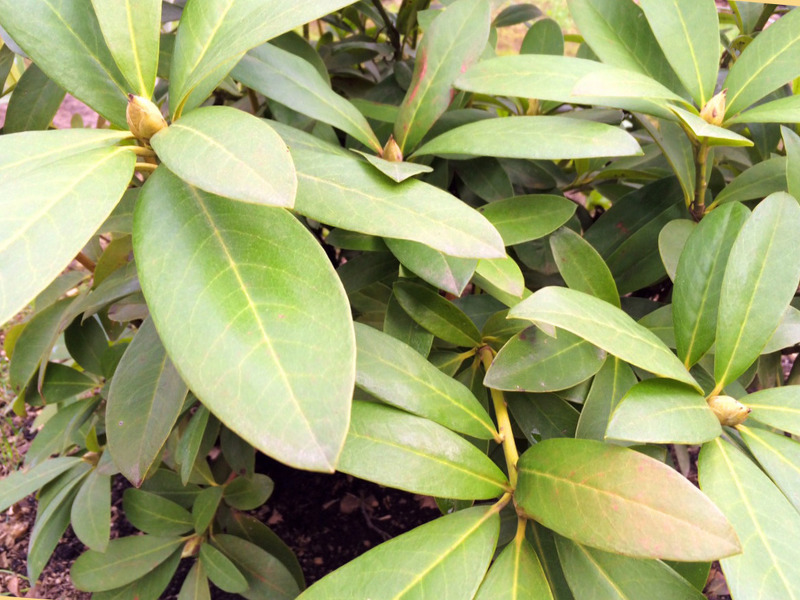 Проблема с листьями рододендрона при пониженной кислотности почвы