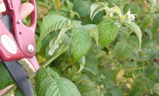 сбор, хранение листьев малины