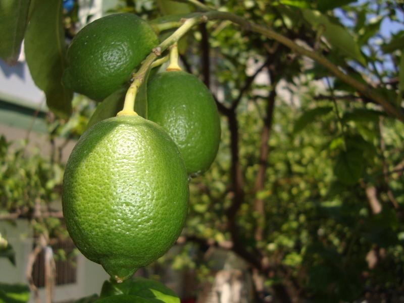 Как вырастить лимон из косточки и дождаться вызревания плодов