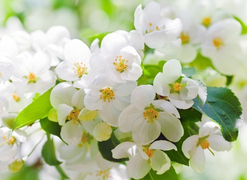 Цветы и листья вишни добавляют чаю непревзойденный аромат