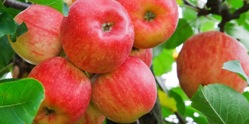 Яблоки польза и вред для человеческого организма разных сортов
