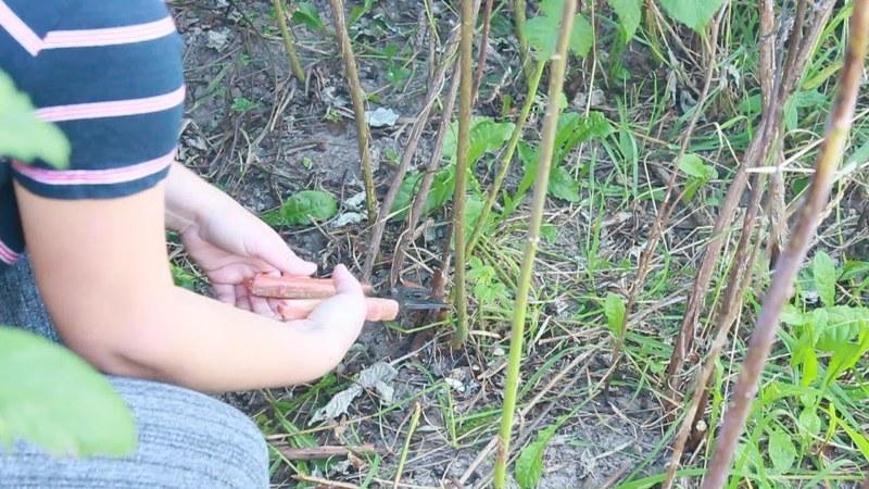 Посадка малины,выбор участка