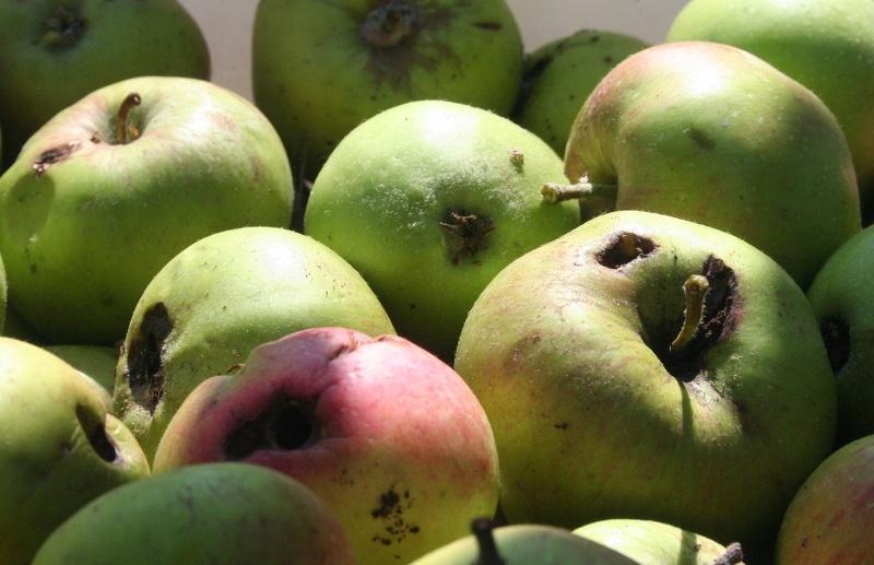 Для косточковых и семечковых плодовых деревьев нужна специальная химическая защита
