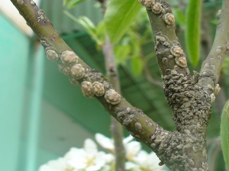 Если полностью поражен ствол, то нужно обработать все растение химической защитой от болезней