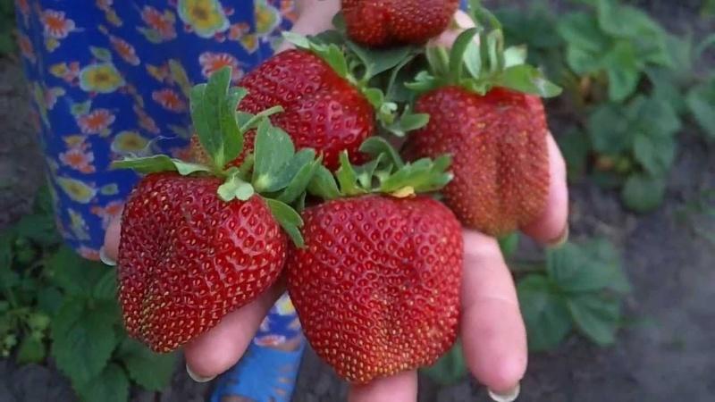 Сорт садовой земляники королева елизавета | я-фермер. Ru.