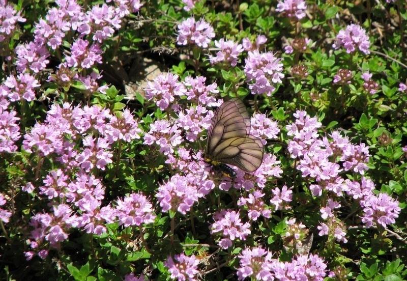 Особенности чабреца как растения