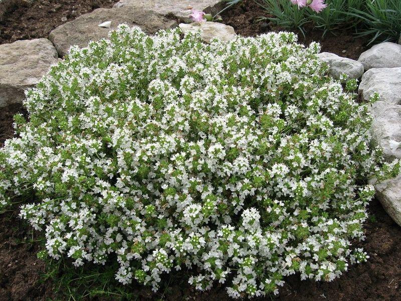 Чабретц обыкновенный может быть разных размеров и цветов, на фото белый чабрец