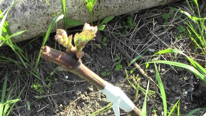 Если не знать, как правильно обрезать виноград, его можно повредить