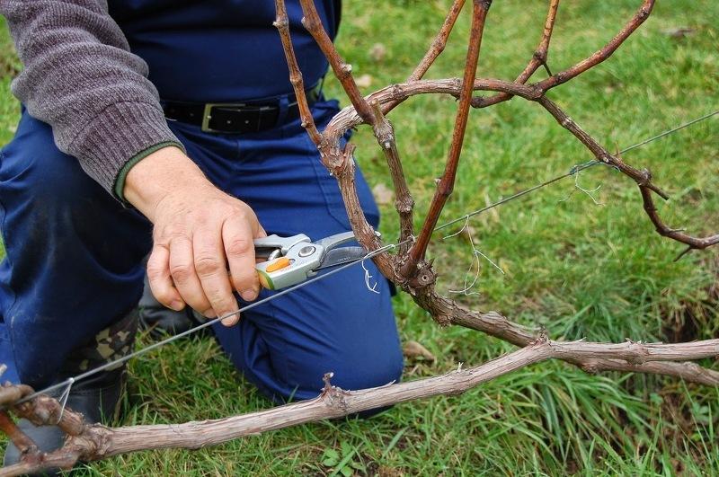 Весенняя обрезка винограда - ее преимущества