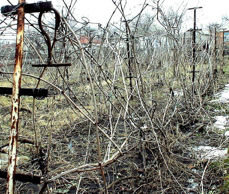 Если обрезка винограда весной не производилась, он будет выглядеть так