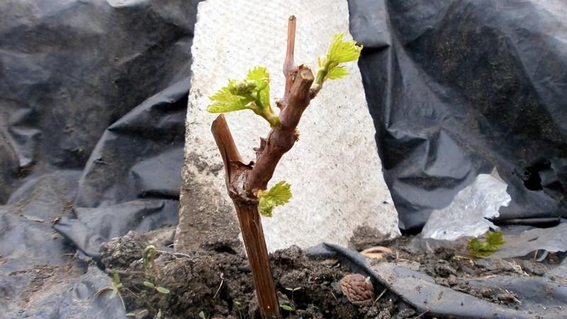 Виноград обрезка весной и правила формирования куста