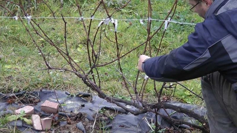 Как правильно обрезать виноград весной, чтобы получить веерную формировку?