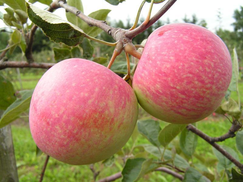 Сорт яблони мельба: плоды