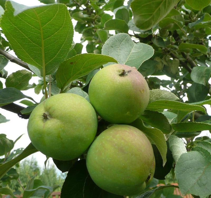 Мельба. Яблони сорта с фото