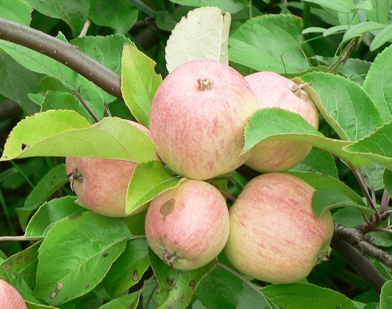Мантент. Сорта яблонь фото с названием и описанием