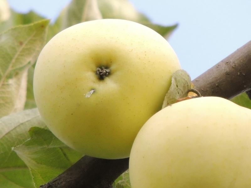 Сорта яблок белый налив