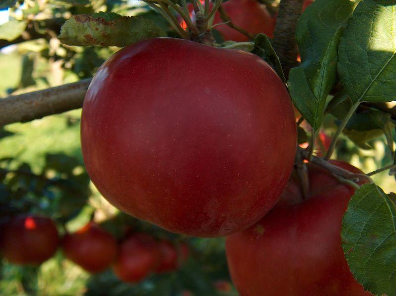 Сорта яблонь Макинтош