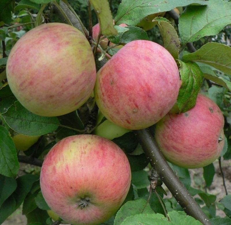 их сорта и яблок описание фото