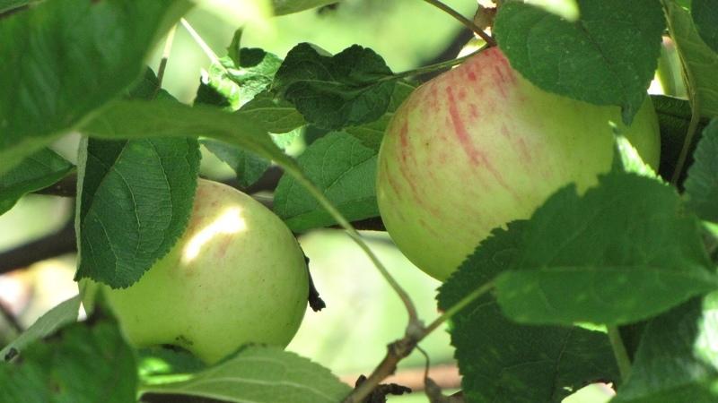 Сорта яблок коричное полосатое