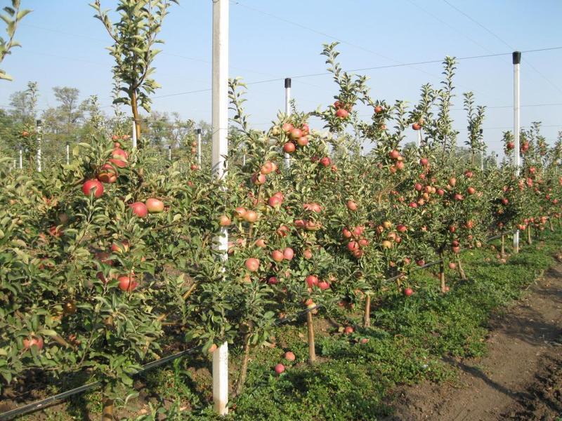 Карликовые яблони сорта фото
