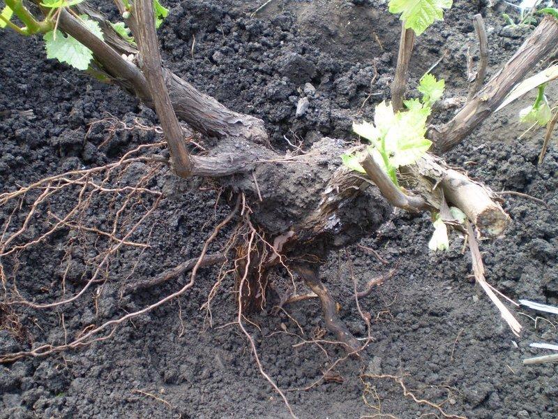 Фото виноград посадка
