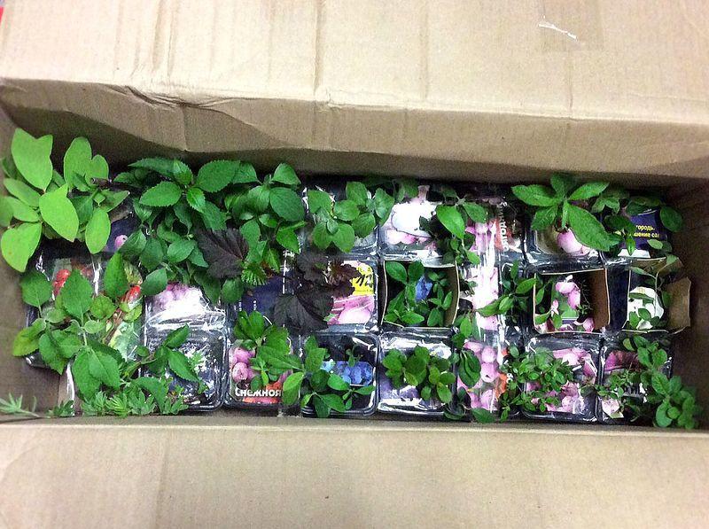 Выращивание и уход за саженцами рододендрона
