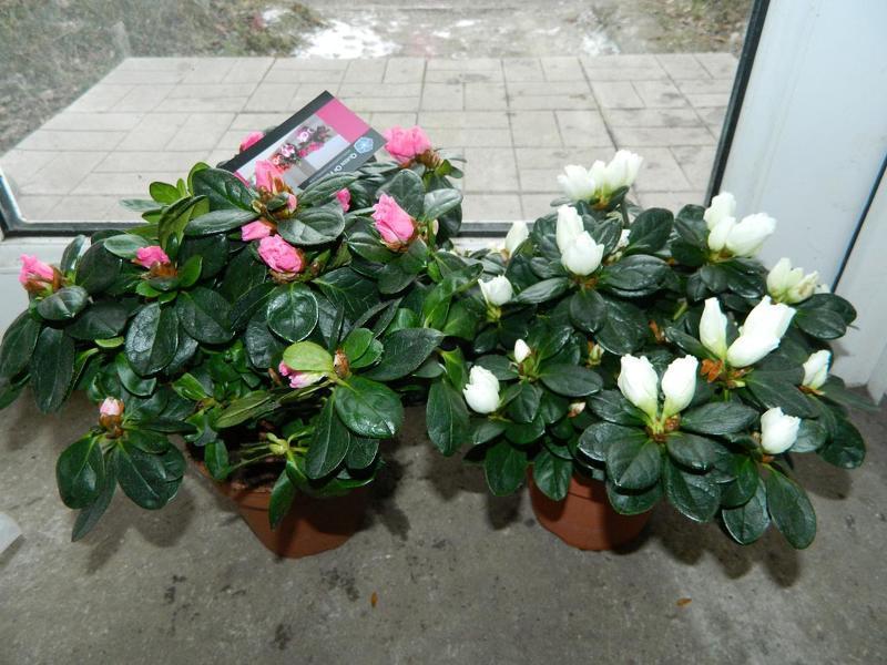 Подкормки и удобрения позволят без проблем вырастить как садовый, так и комнатный рододендрон