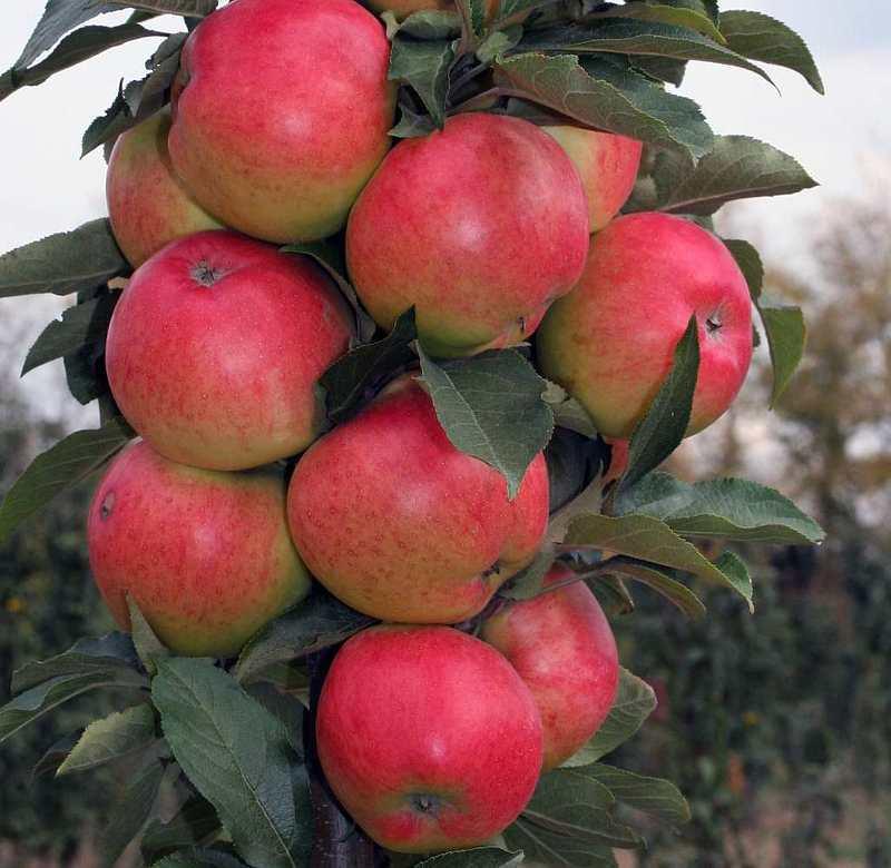 Колоновидные яблони сорта фото особенности