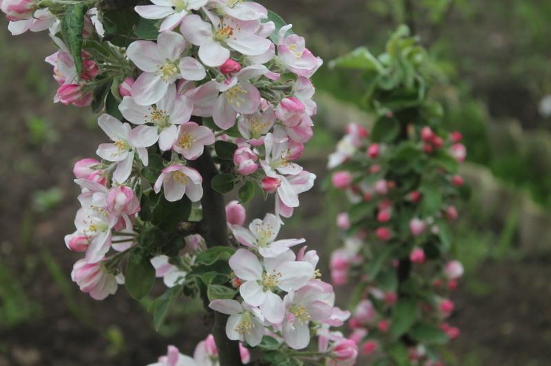 Колоновидная яблоня фото во время цветения