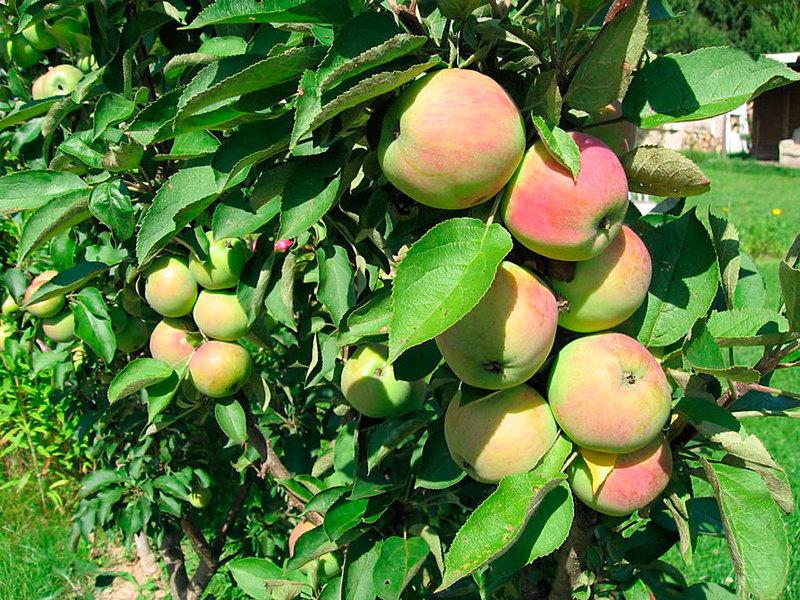 Колоновидные яблони сорта фото. Президент