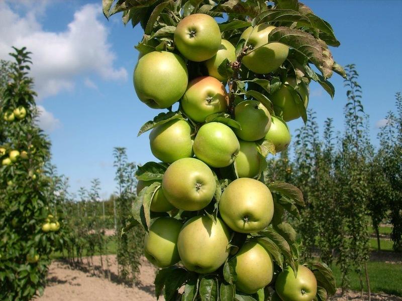 Колоновидные яблони для Подмосковья сорта Валюта
