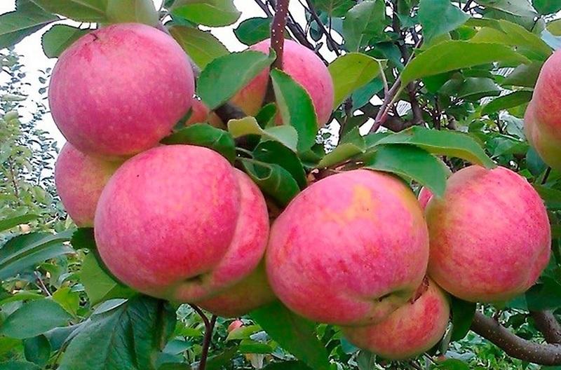 Колоновидные яблони сорта фото. Московское ожерелье