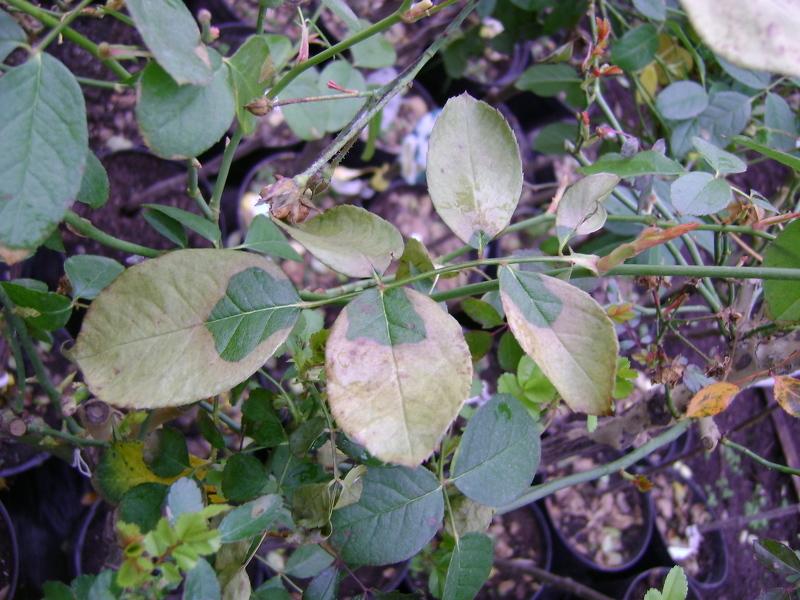 Листья роз, пораженные хлорозом