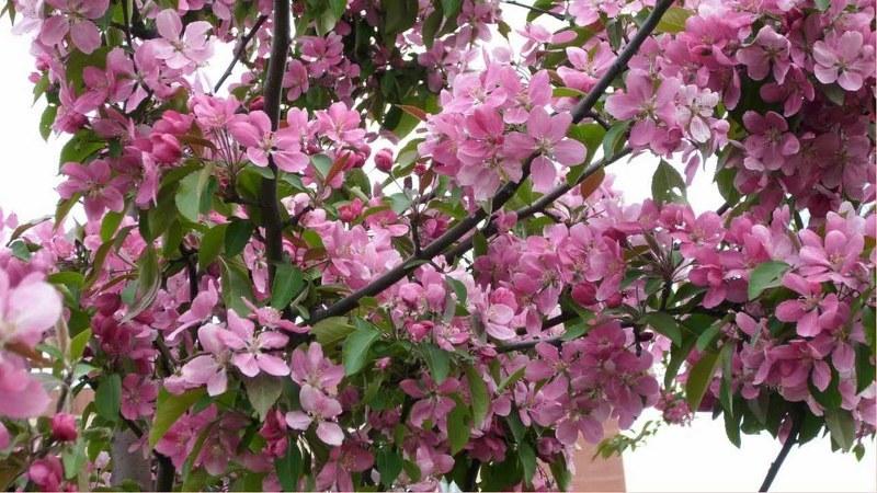 Чем подкормить яблони весной перед цветением