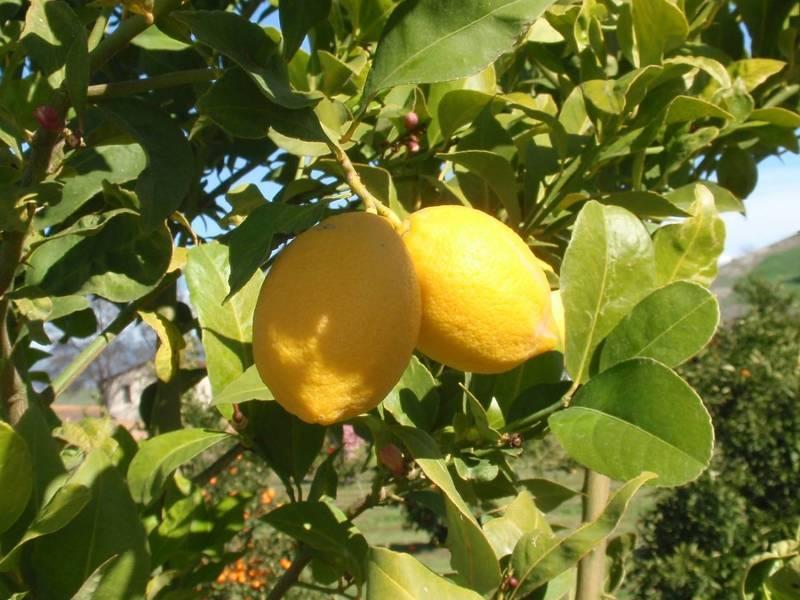 Лимон фото - сорт Новогрузинский