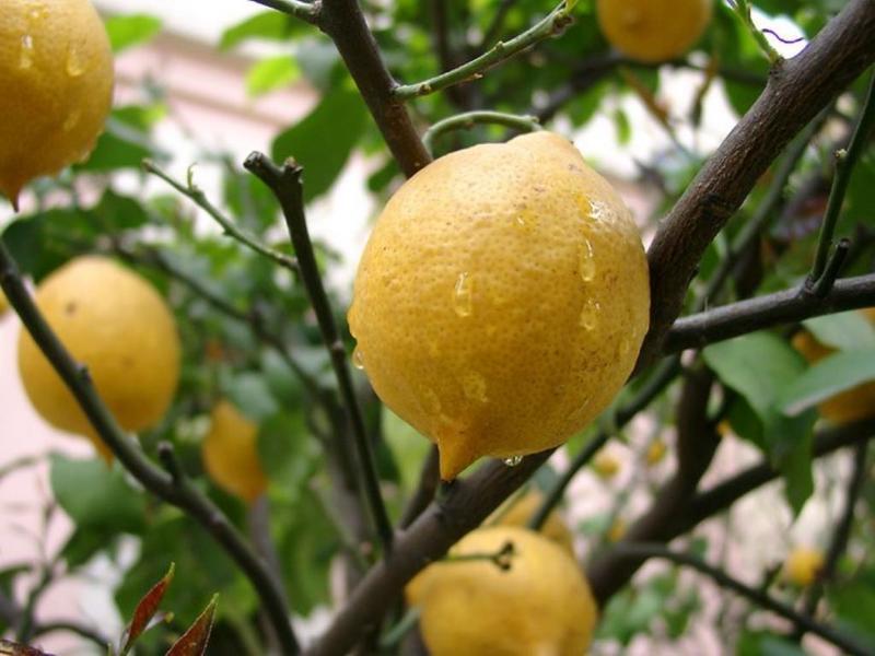 Лимон фото - сорт Павловский