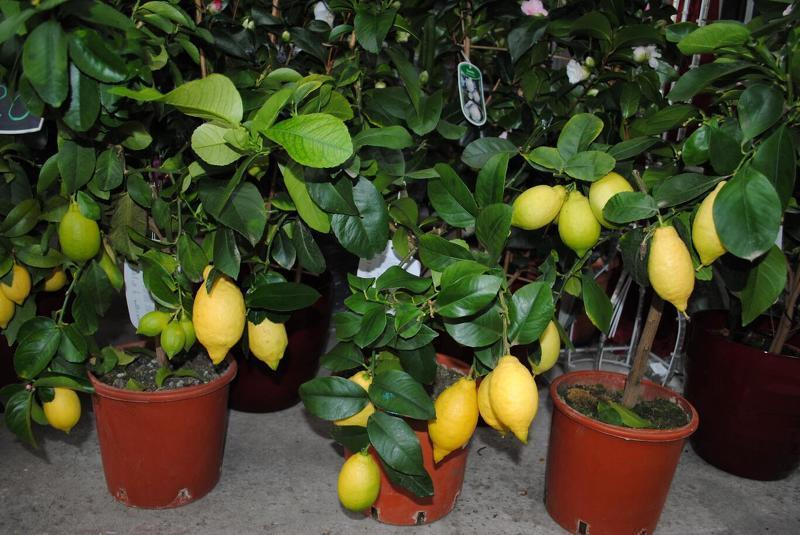 Лимон комнатный - Citrus limon. Уход за комнатным лимоном