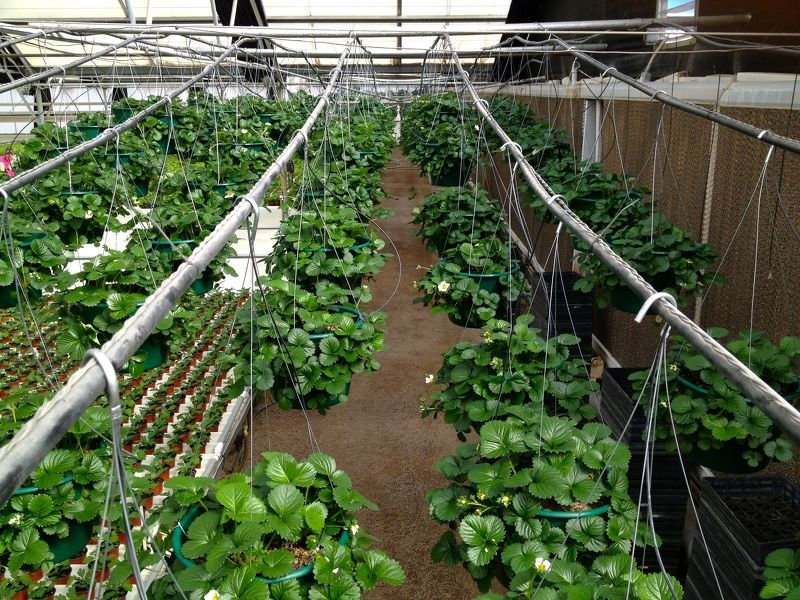Условия для выращивания клубники 72