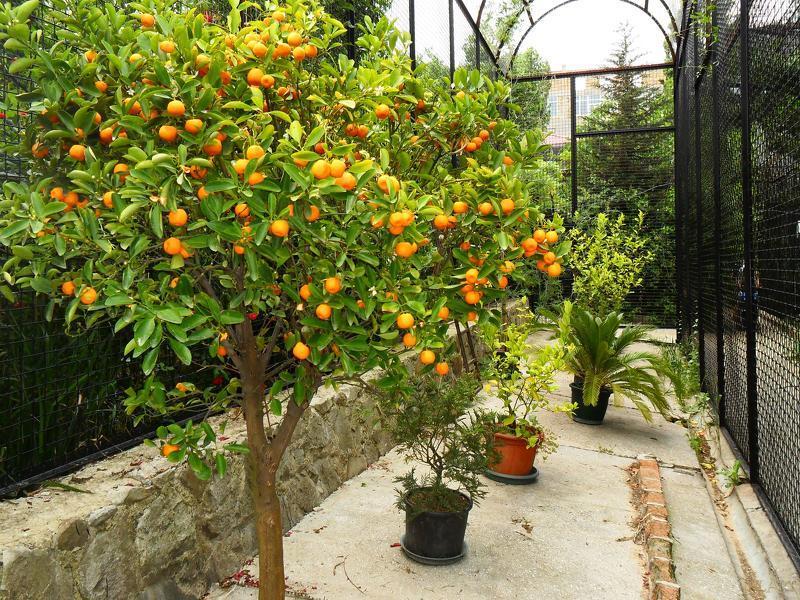 Также дерево абрикоса способно выдерживать Правила посадки саженцев абрикосов весной.