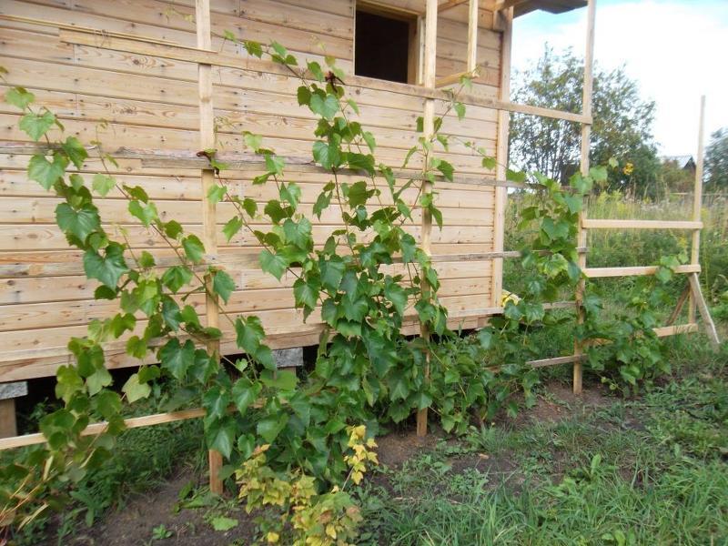 Как выращивать виноград в