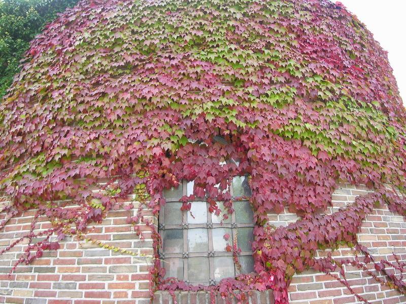 Девичий виноград из семян