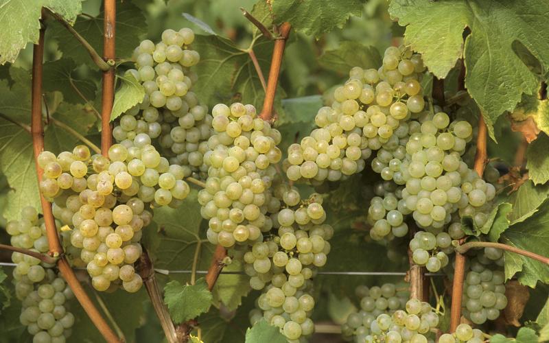 Выбирайте сорта винограда по морозостойкости