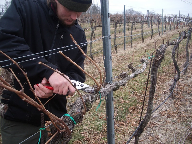 Подвязка винограда к шпалерам в саду