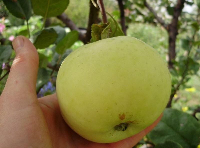 Как хранить яблоки зимой: как правильно срывать яблоки