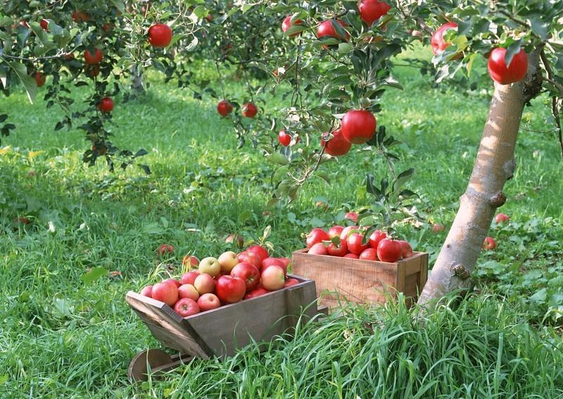 Как хранить яблоки зимой: сбор урожая