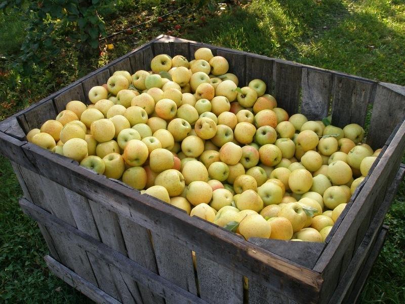 Как хранить яблоки в контейнерах