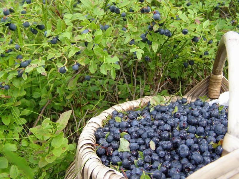 Черника как выращивать в огороде