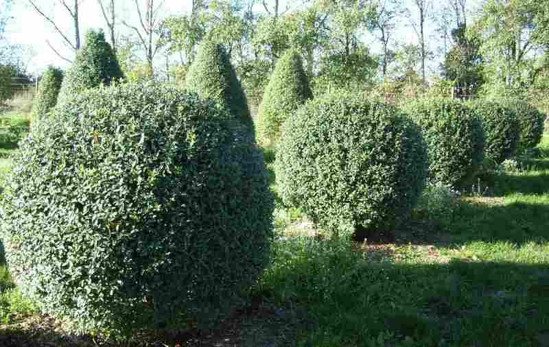 Теневыносливые кустарники: Бирючина (лат. Ligústrum)