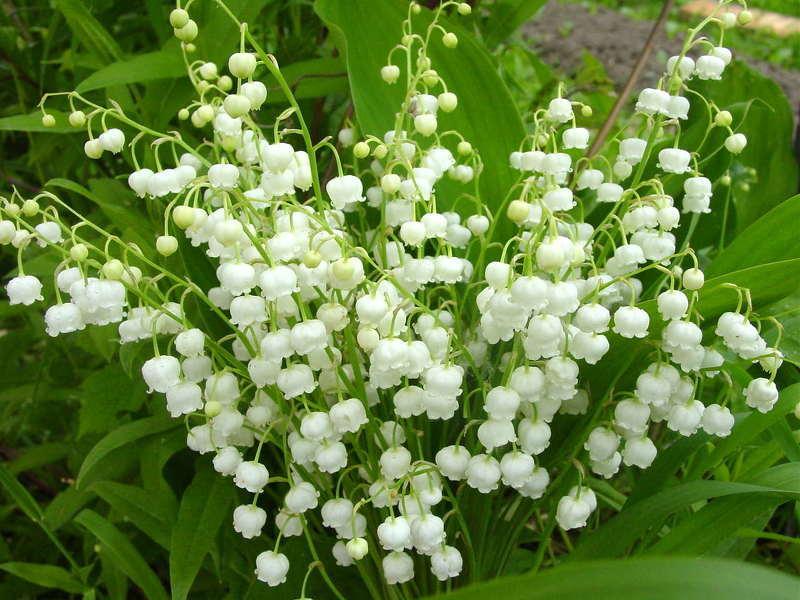 Тенелюбивые цветы для сада: Ландыш