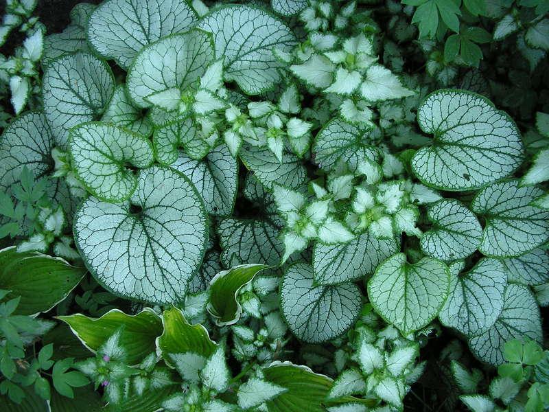 Тенелюбивые цветы для сада: Брунера